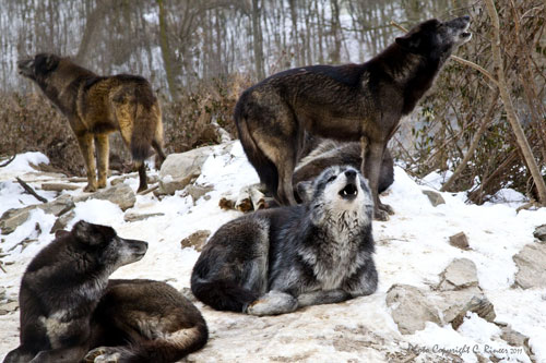 Wolf Sanctuary of PA
