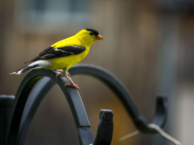 American Goldfinch Finch Thumb Nourished