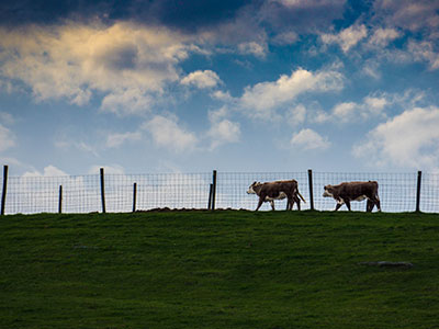 Cows on a Hill Thumb Cows on a Hill